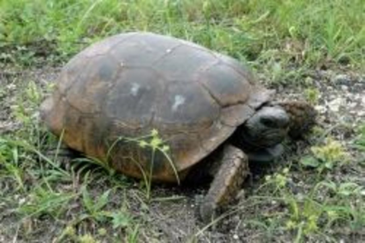 gopher-tortoises-louisiana