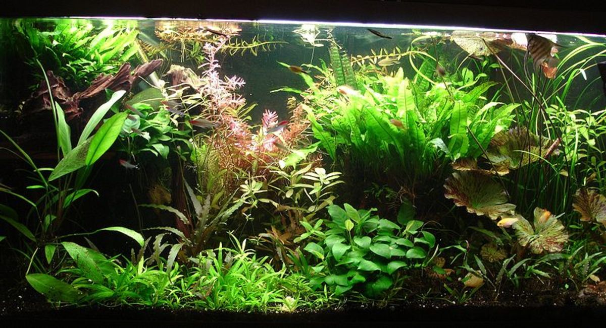 Aquarium Aquascape Design and Fish Tank Plant Placement