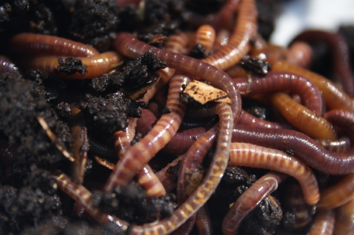 worms composting their way!