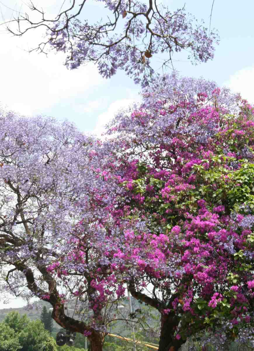 A beautiful combination of jacaranda and bougainvillea blossoms