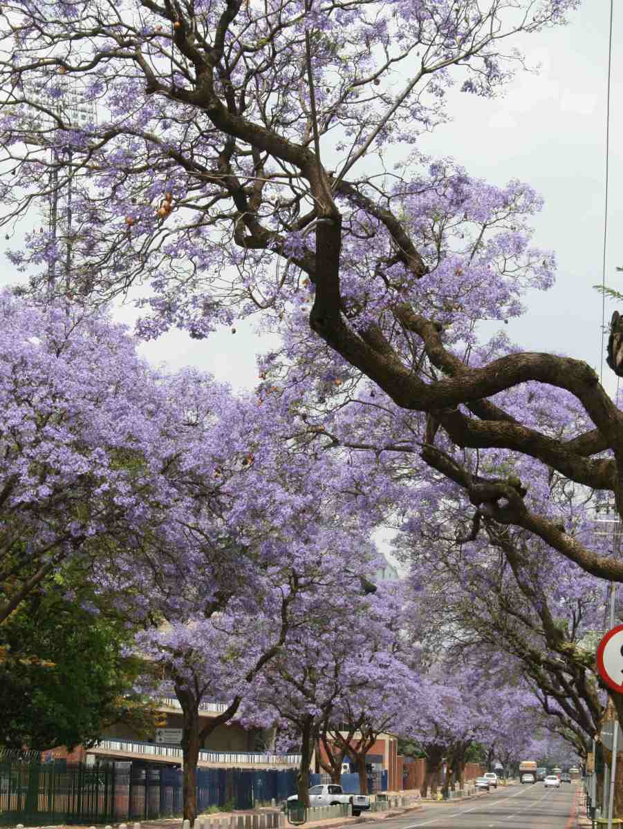 A jacaranda tree - typical dark trunk and branches against the brilliant blue of the flowers.