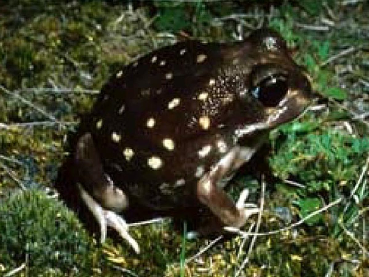Western Spotted Frog