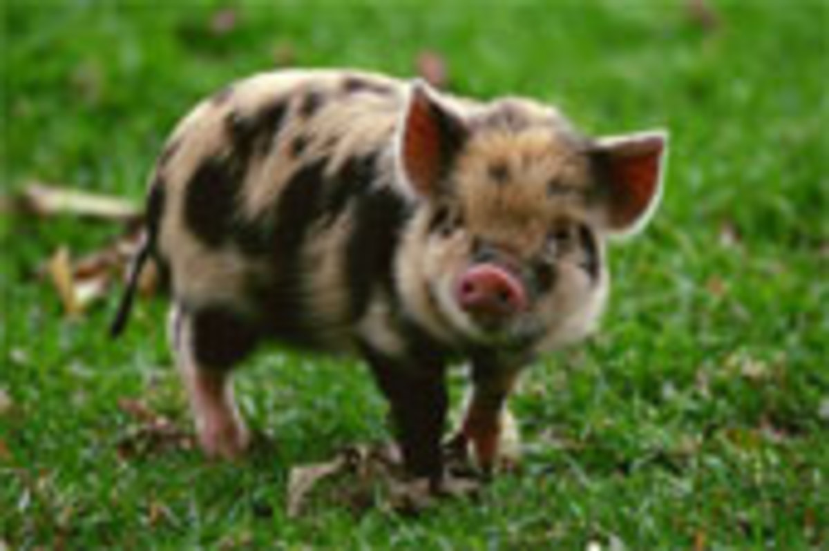 Spotted Pigs