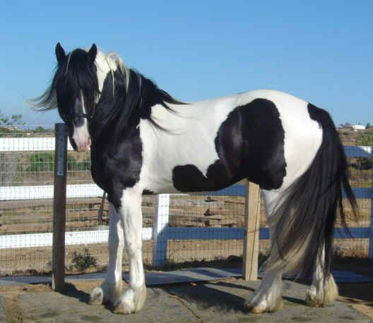 North American Spotted Draft Horse