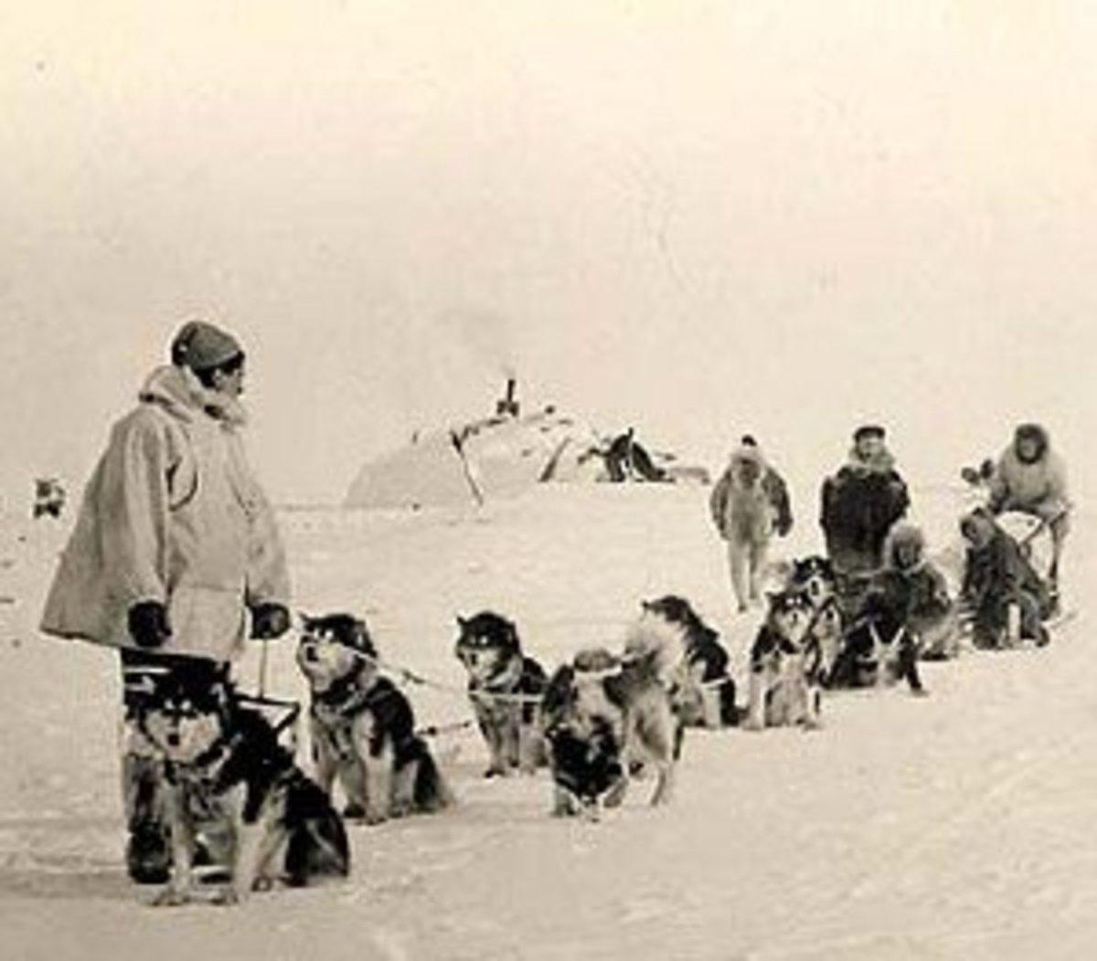 Team of Malamutes from Alaska circa 1950s