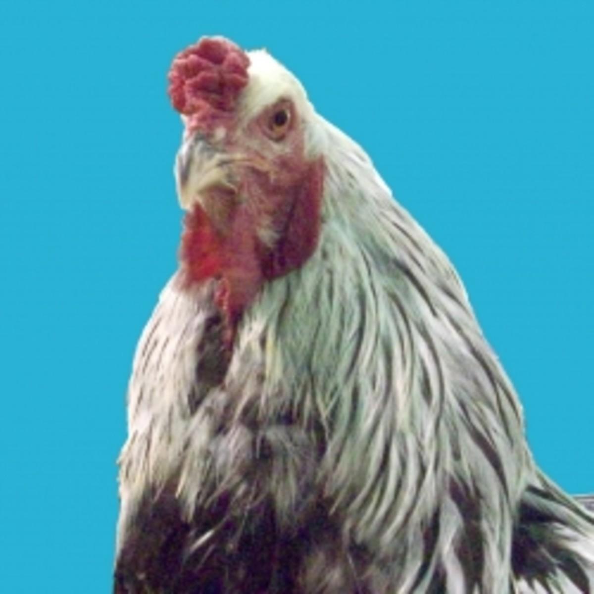 the_chicken_quiz