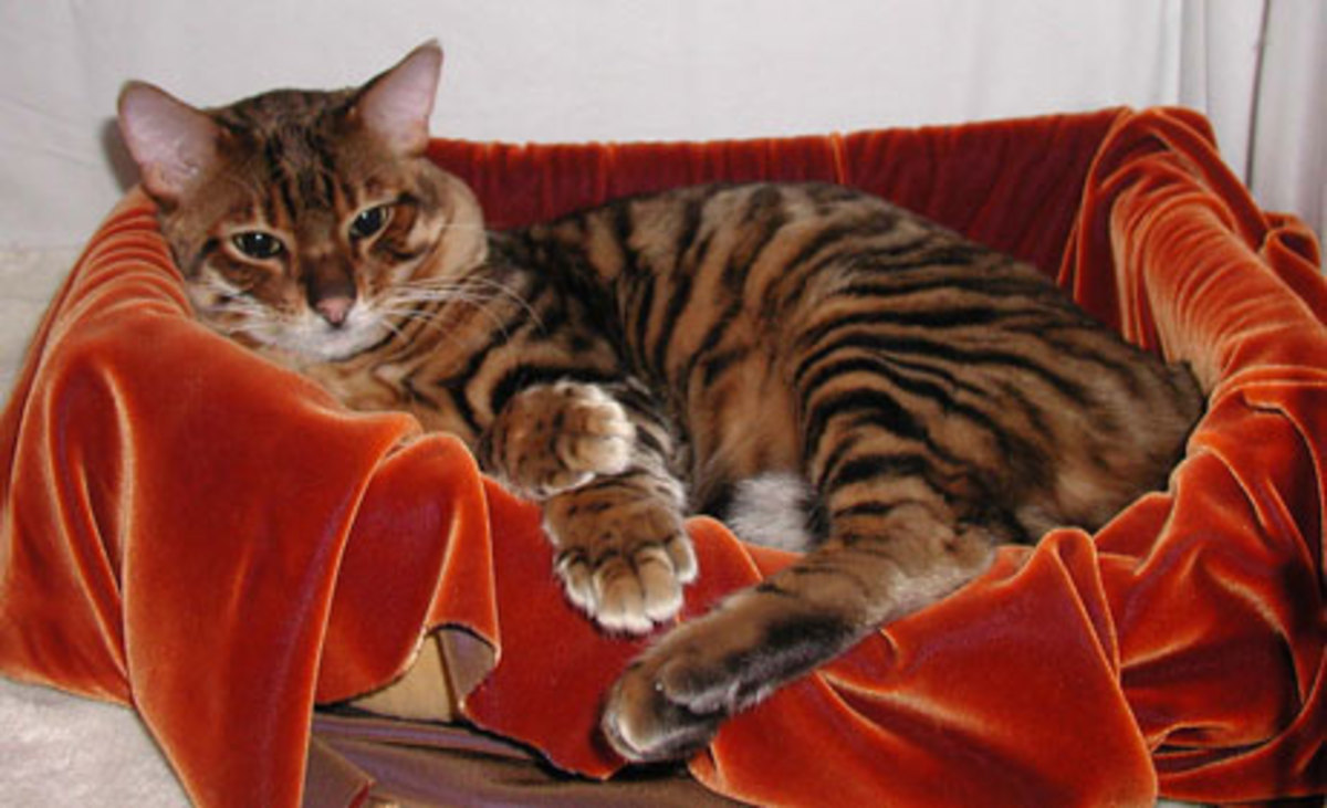 Sumatra - a registered Toyger