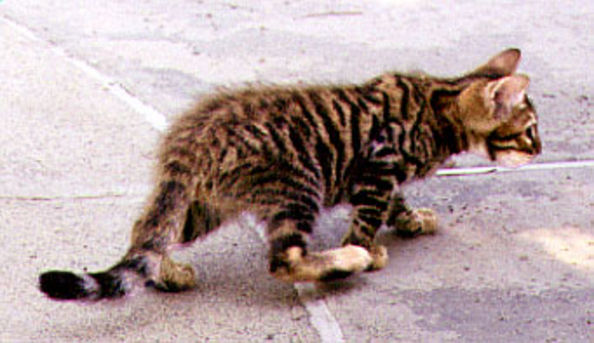 Big boning of the Toyger often makes for clumsy kittens but they quickly outgrow this stage