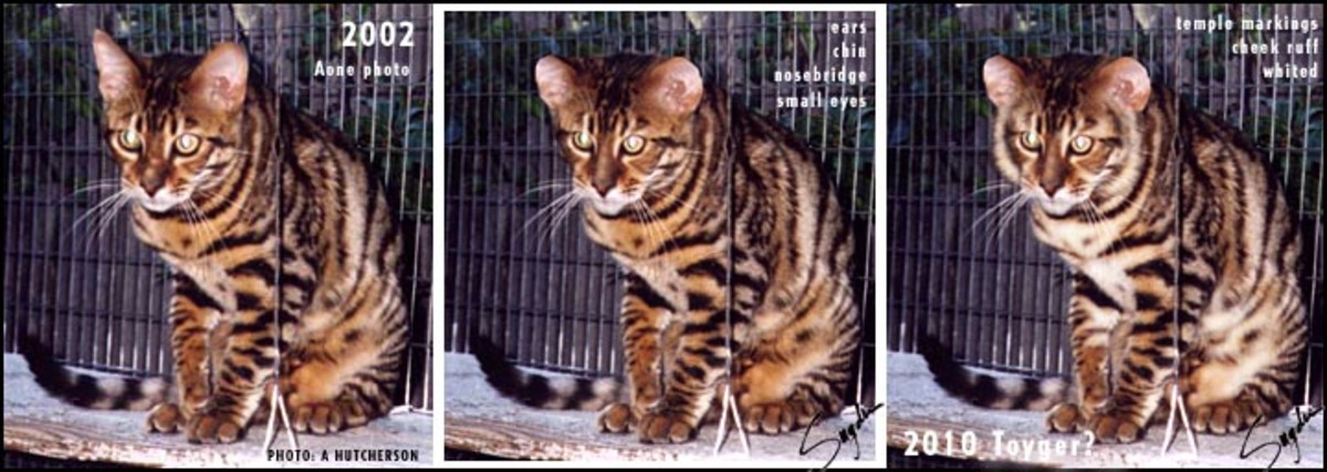 The future of the Toyger.  Computer generated imagery of how breeders wish the Toyger to evolve.