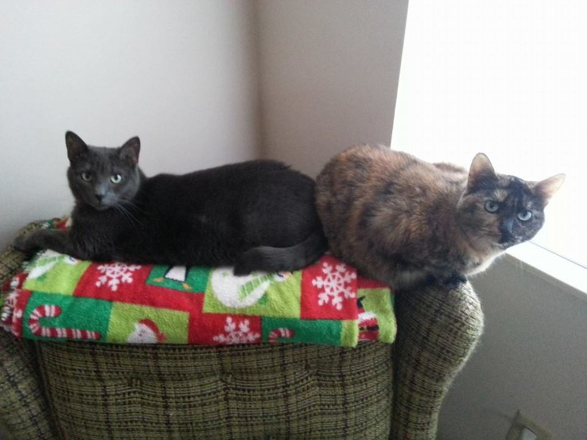 My babies! Ava is my tortie (adopted from the KSPCA) and Zaneeta is ALL grey girl (adopted from the streets). I love them!