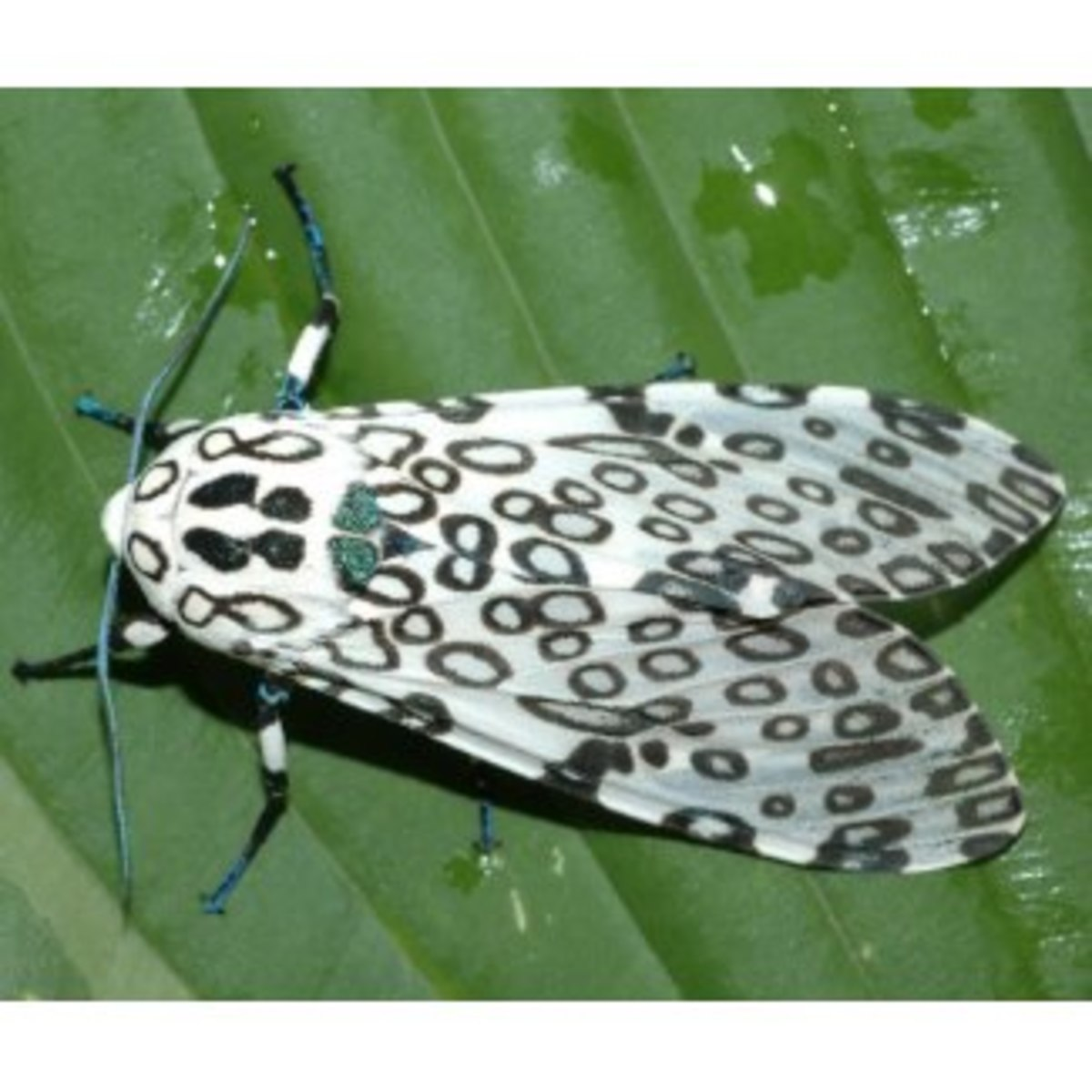 This is the moth that goes with the caterpillar above.