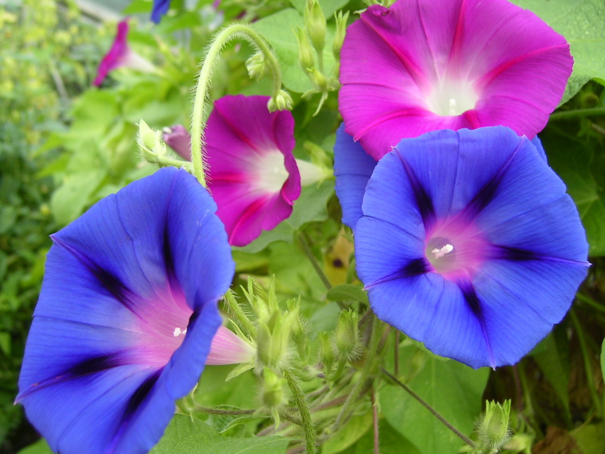 Morning Glory (Ipomoea)