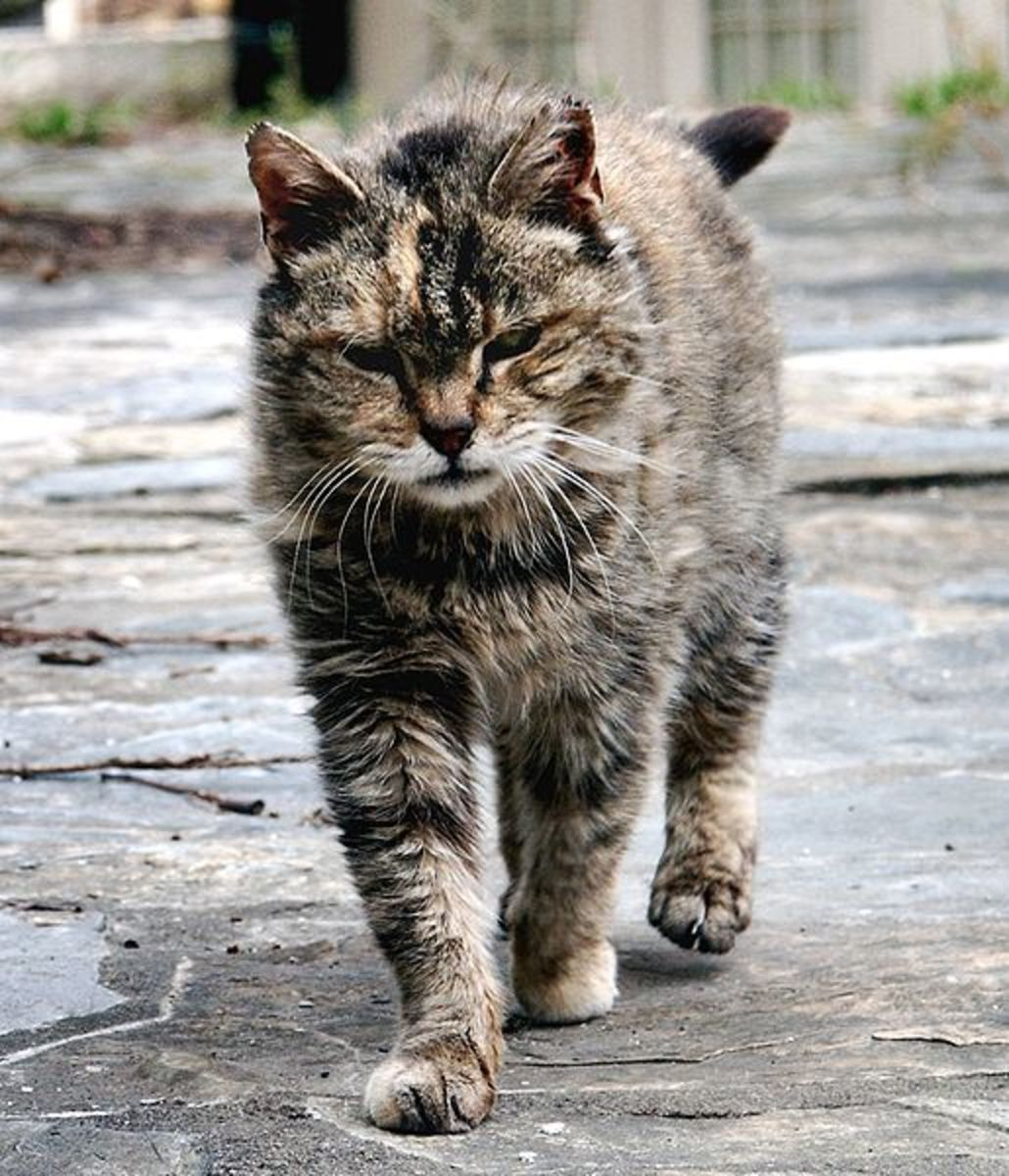 Feral Cat - This is a file from the Wikimedia Commons. Author Stavrolo   Permission (Reusing this file) GFDL  Ferrell Cat