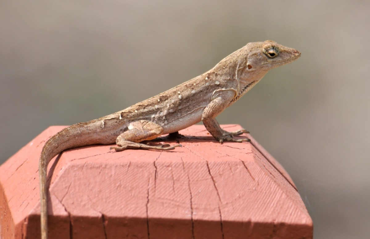 fear of lizard Fear of lizards revisited february 7, 2012 anoles and anolologists in the news davidsteinberg previous posts and associated comments have discussed scoliodentosaurophobia ( here and here ) and its prevalence in some anole-rich regions of the caribbean.