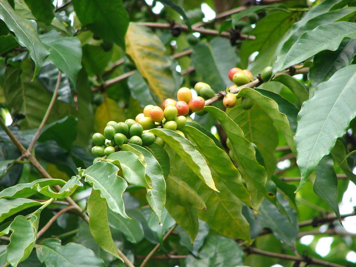 Coffea Arabic berries