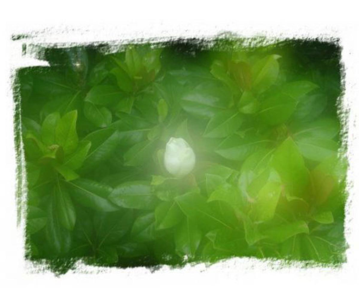 Magnolia-opus 1