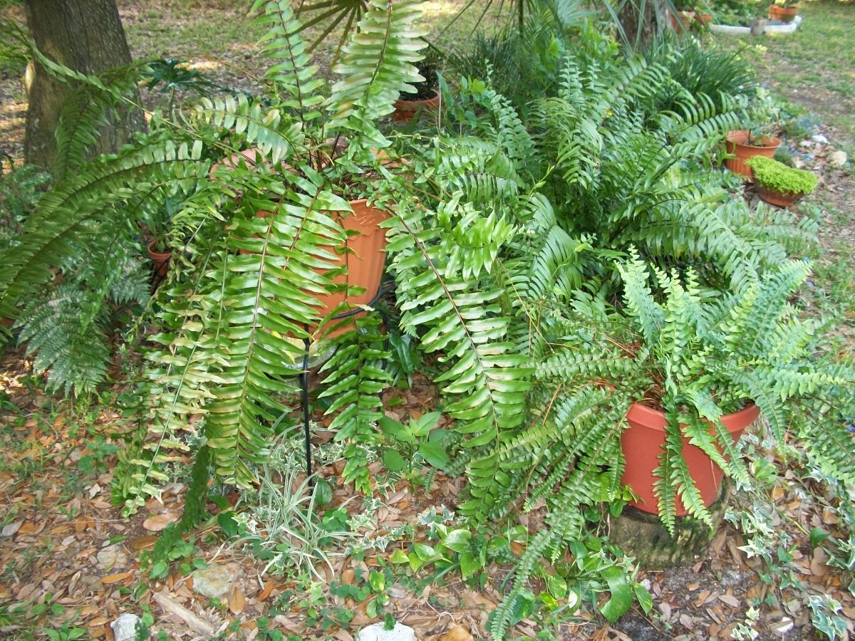 Those of you who read My Pet Ferns will recognize some of my pets now outside in the garden.