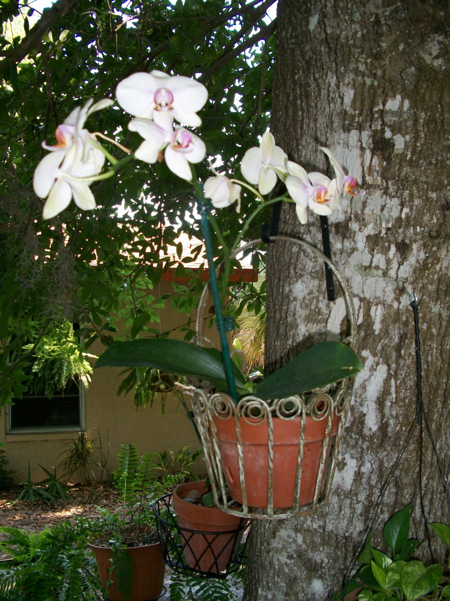 Orchids hanging under the oak tree as close to God's intent for them as possible -- looking happy.