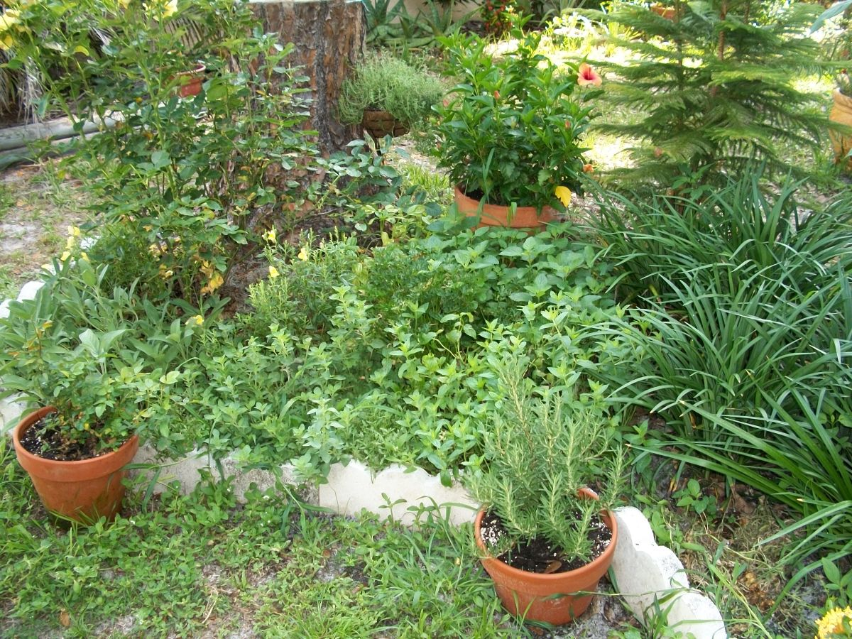 Last pictured in February, here are my herbs flourishing in the humid heat (and requiring water every day -- hope the rains start soon.) Parsley, lemon balm, sage, oregano, rosemary (in pot) -- all growing well.