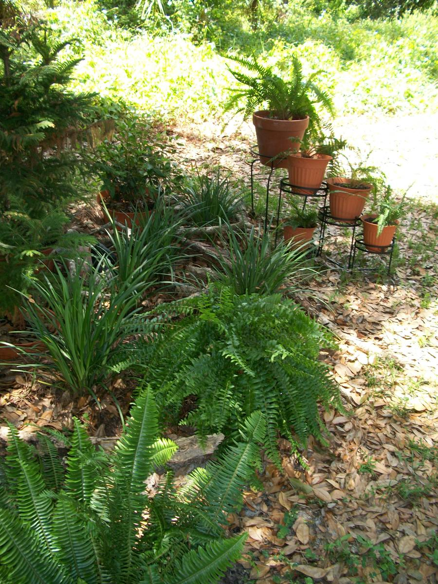 On the eastern edge -- ferns and azaleas (another shade lover.)