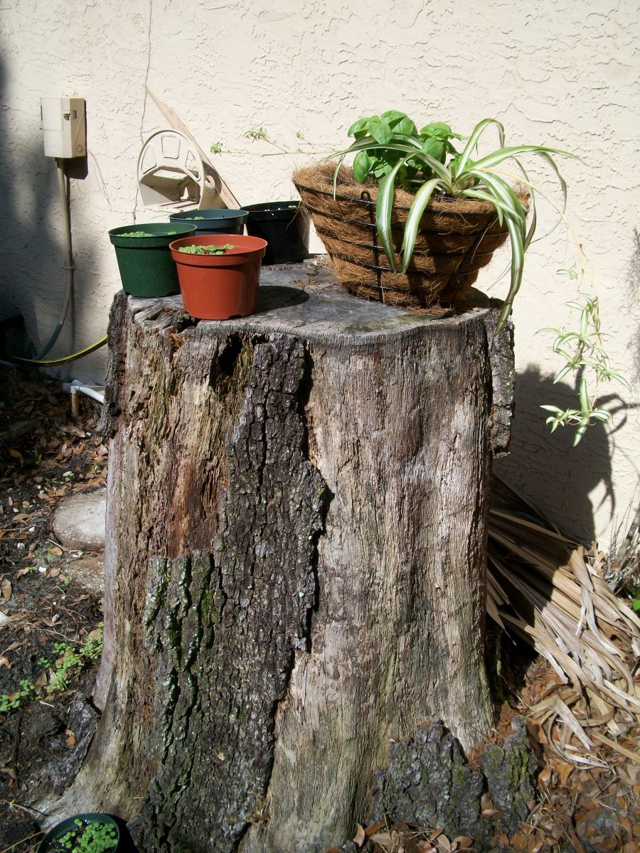 Now that it is settled I am to stay, I have started some new seedlings. This stump on the east side of the house is my favorite nursery -- on top and in the rich earth that surrounds it.