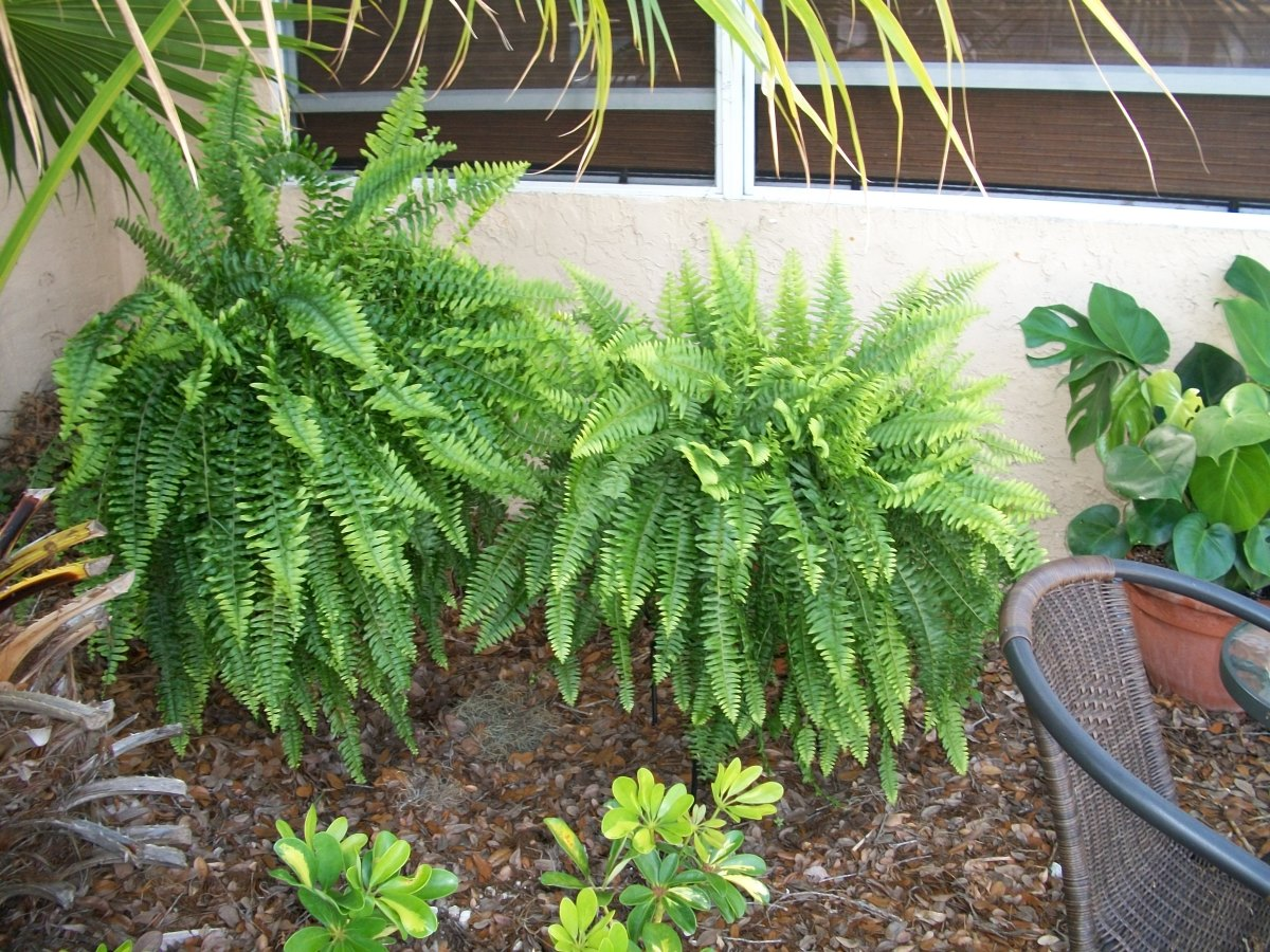 Two divisions from one Boston Fern still living in the backyard in pots on stands by my front door. Did I mention Boston Ferns are native to Florida and have nothing to do with Boston at all.