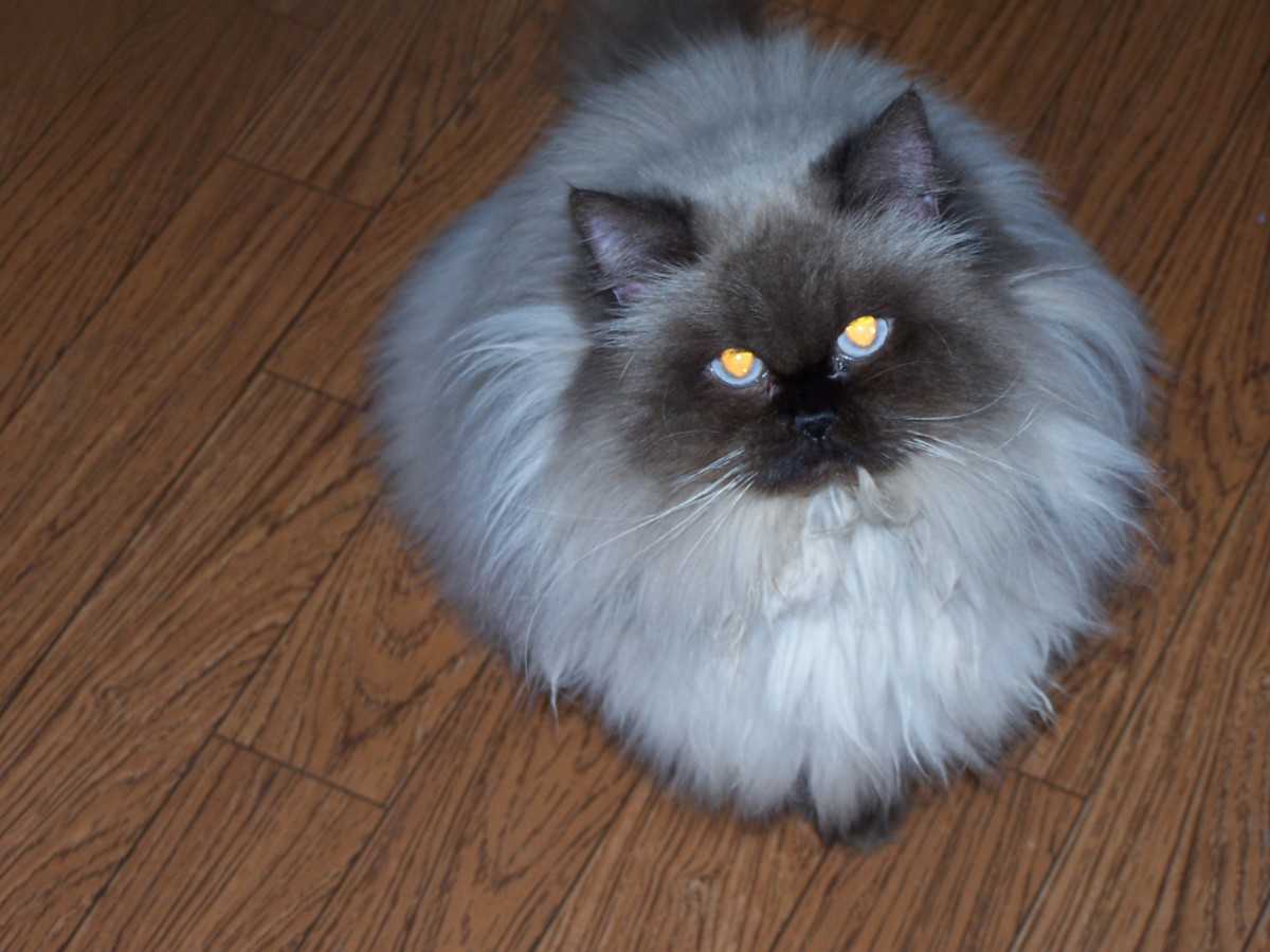 Ms. Frances, my Himalayan Persian