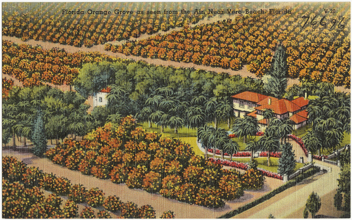 Florida orange grove in the 1930s.
