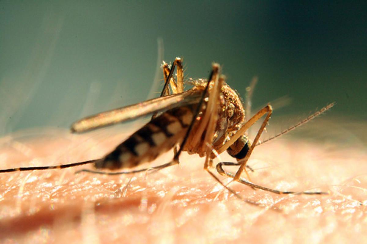 Mosquito bite Photo courtesy Bogdog Dan @flickr