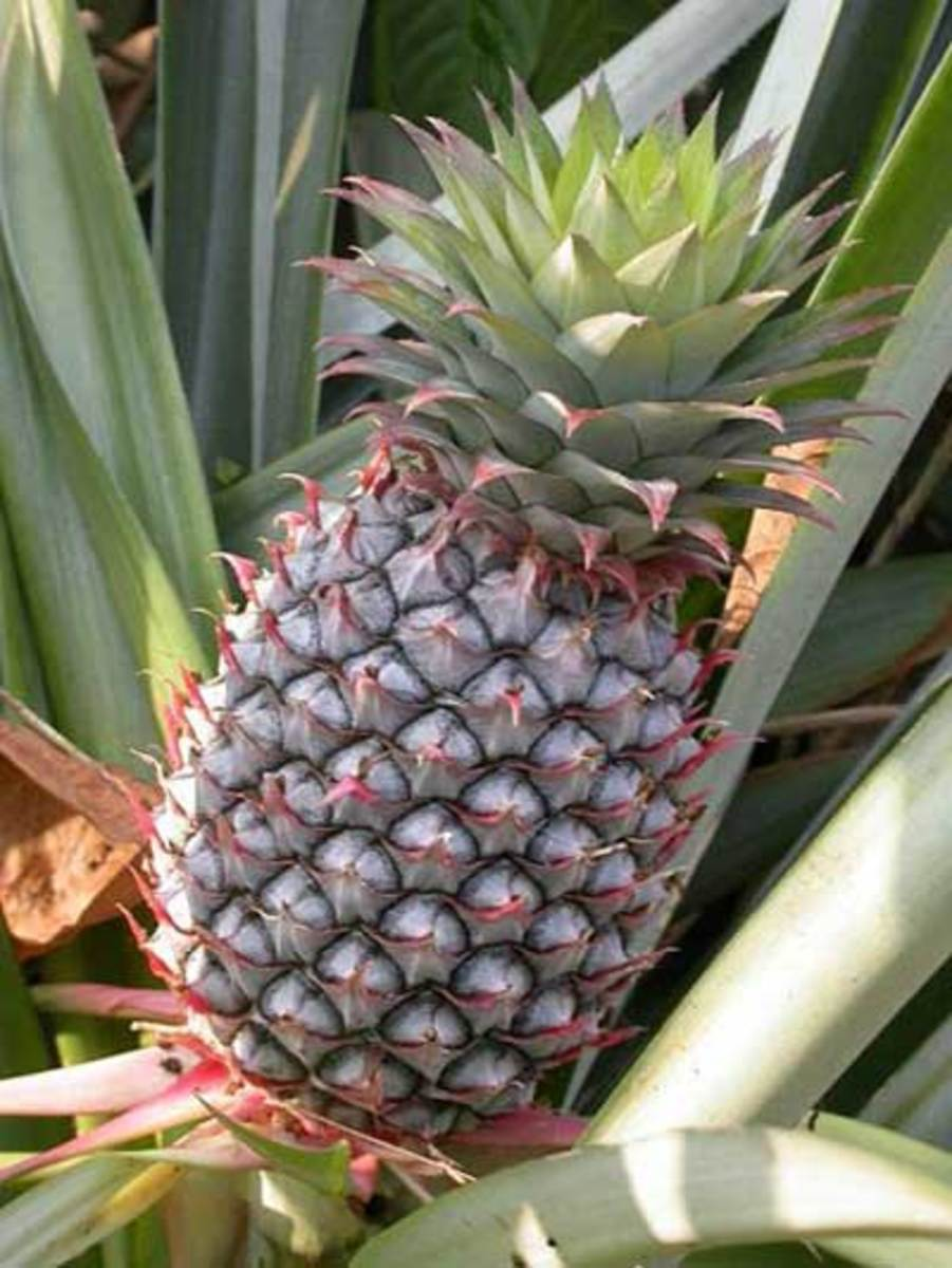 The Difference Between Different Pineapple Types and Pineapple Styles