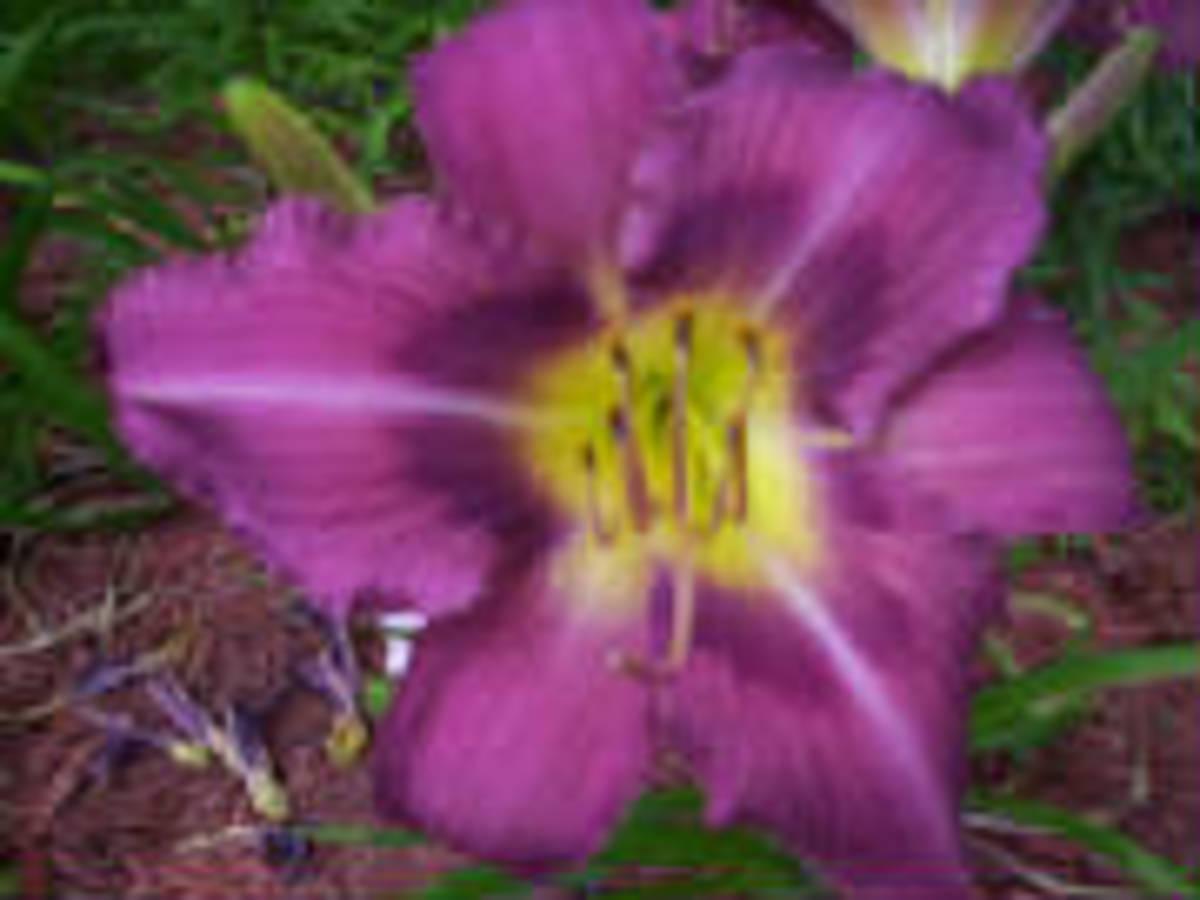 Mountain Violet Daylily