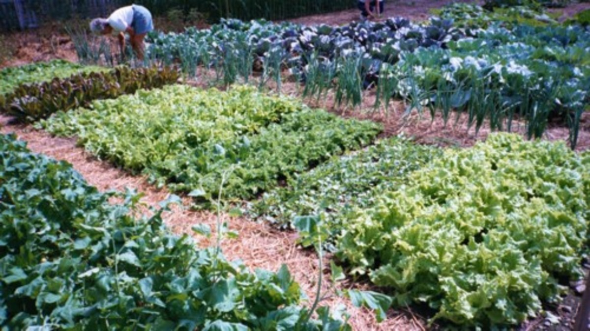 courtesy of http://z.about.com/d/gardening/1/0/B/f/Lettuce2.jpeg.jpg