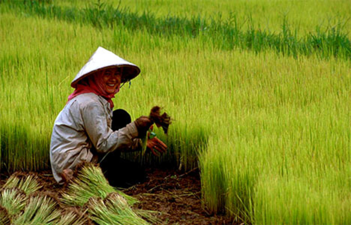 rice is planted in the Central plains and rice is the staple food