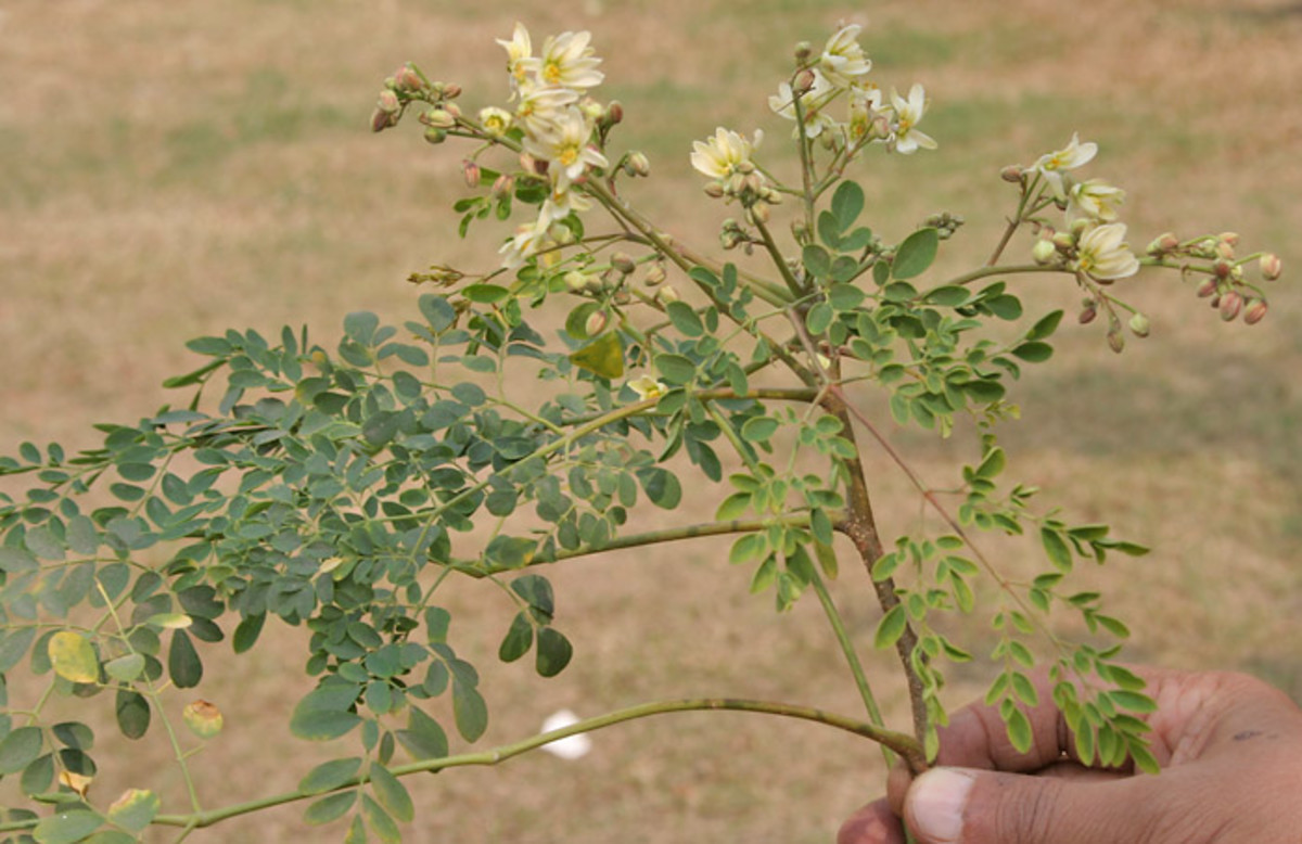 Malunggay or Moringa oleifera is very healthy green leafy vegetables mixed with dishes