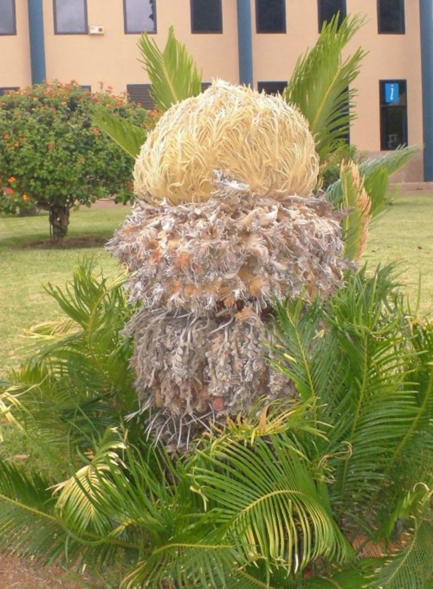 Sago palm. Photo by Steve Andrews