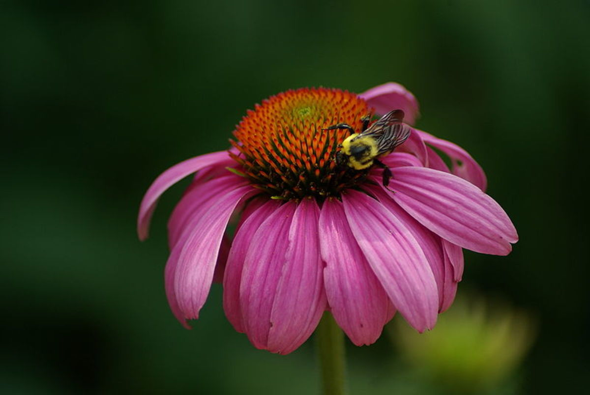 A bee on an Echinacea purpurea head