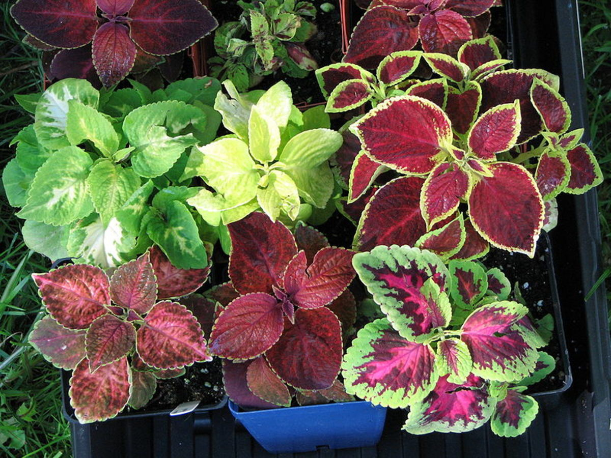 The different colors found in Coleus.