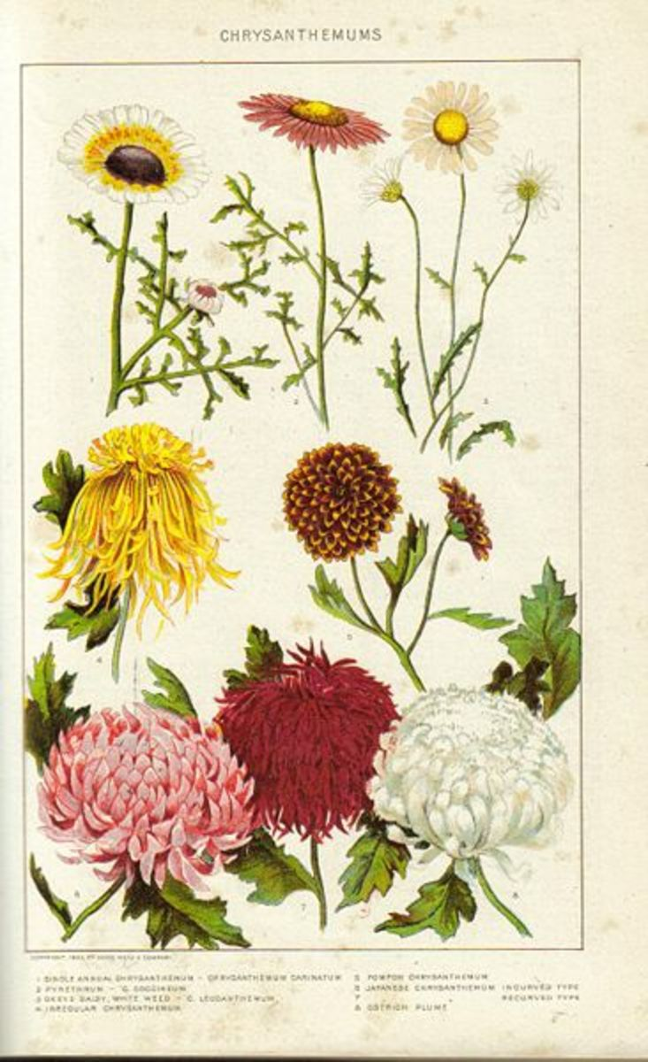 Historical painting of Chrysanthemum from the New International Encyclopedia 1902.