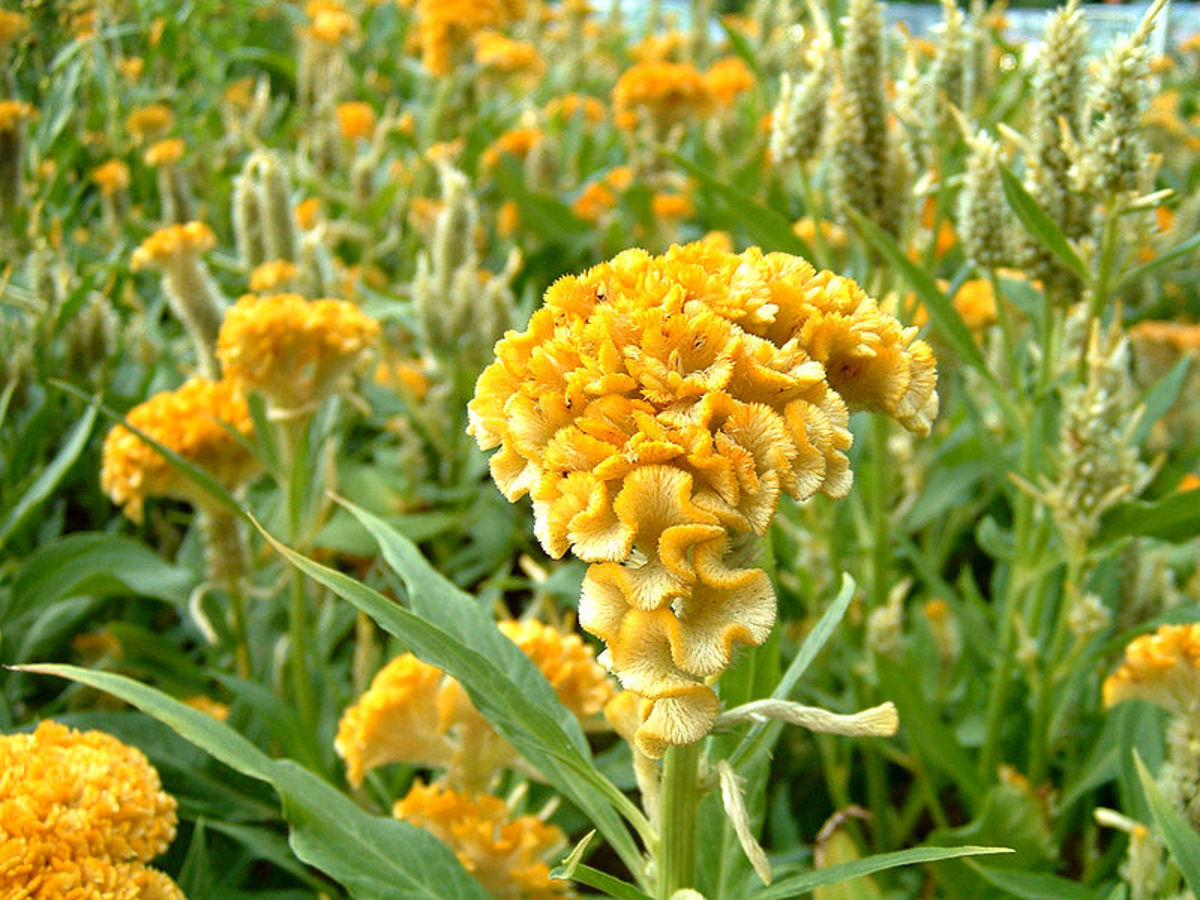 Celosia cristata. Common name Yellow Toreador.