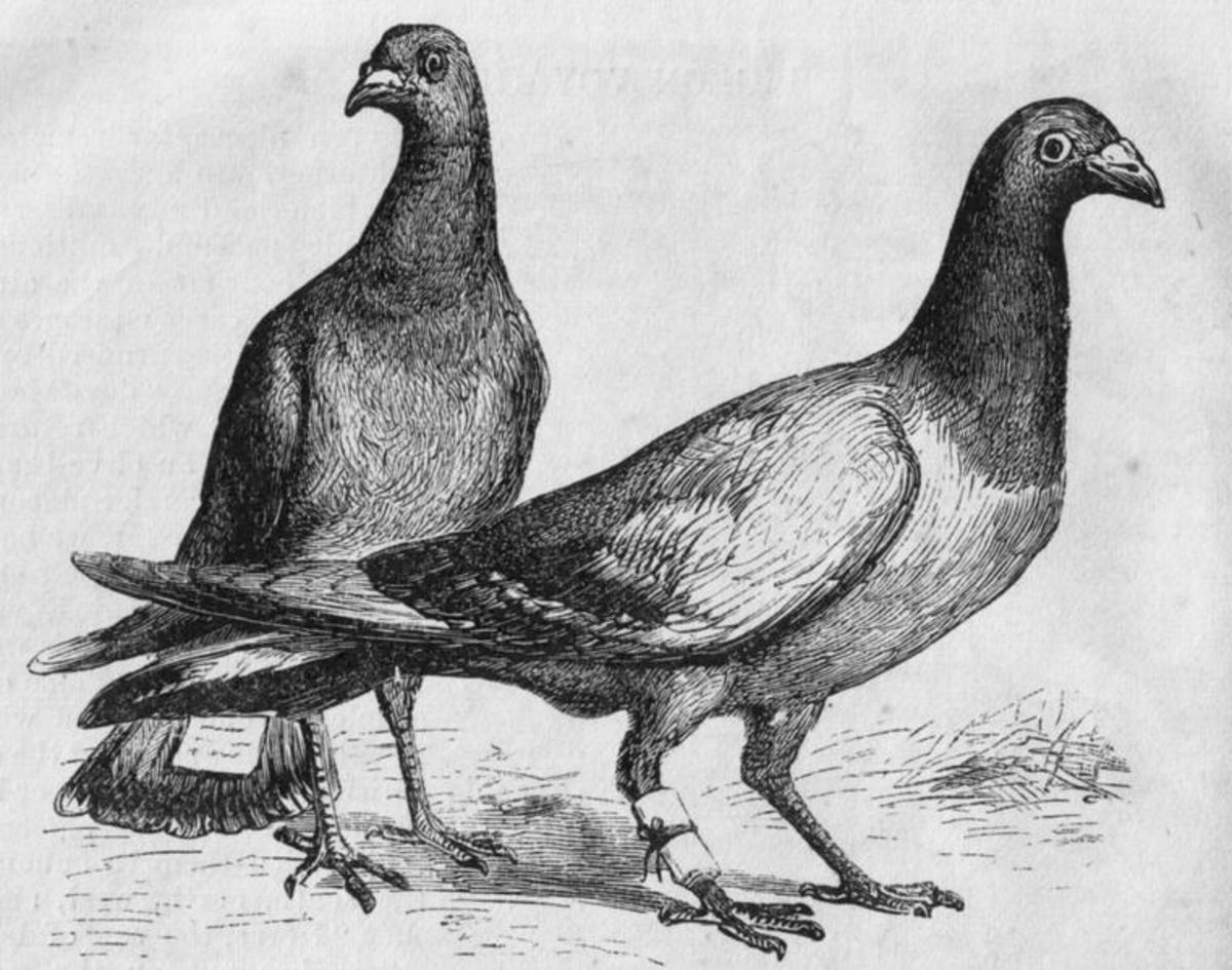 Pigeon Mail - Homing carrier pigeons with messages attached.Image Credit: Harper's New Monthly, Wikipedia Commons.