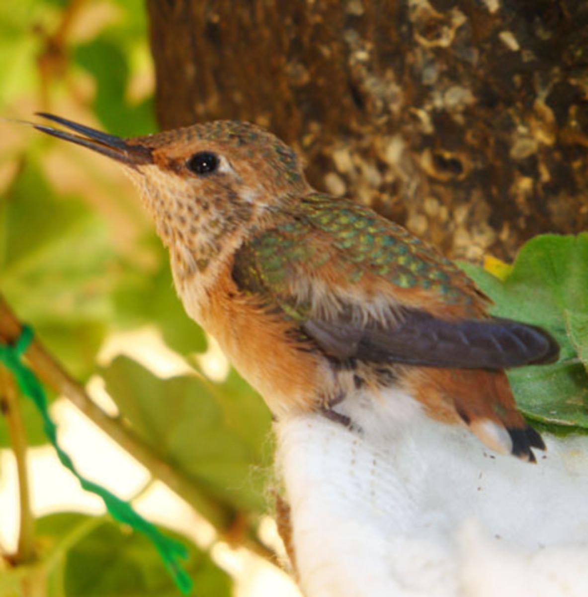 Sasi, the little fledgling