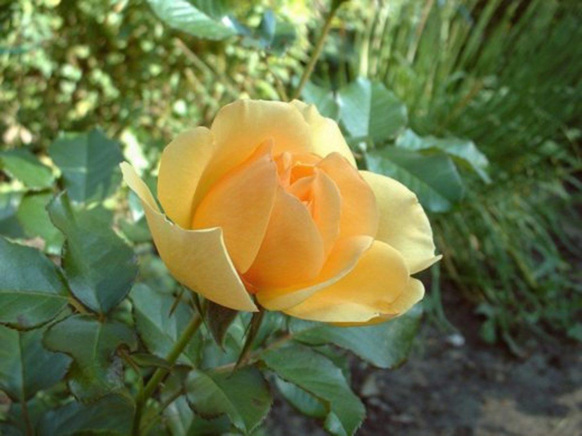 """Amber"" rose"
