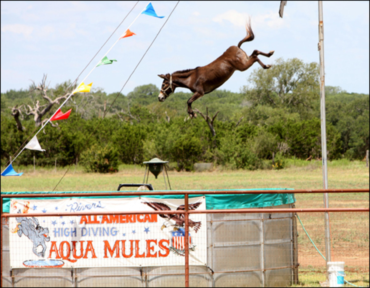 Terrifying: Mule Dipsy Doodle is forced to high-dive from a platform into a pool of water 22ft below