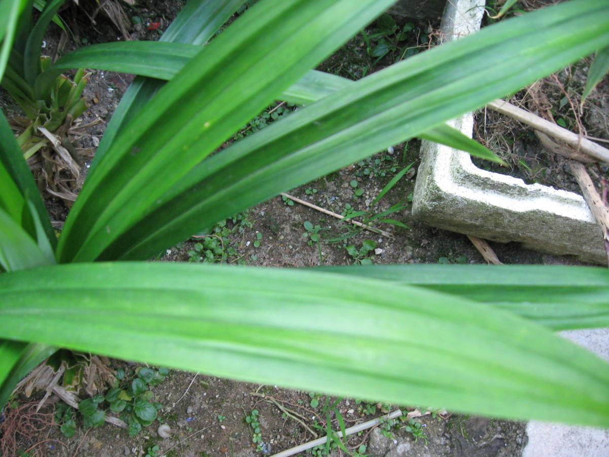 screwpine (pandan) leaves