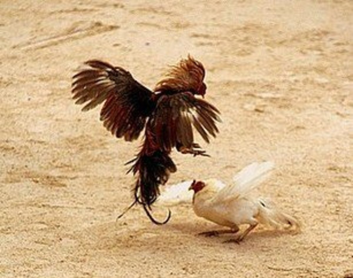 Two roosters fight to the death.