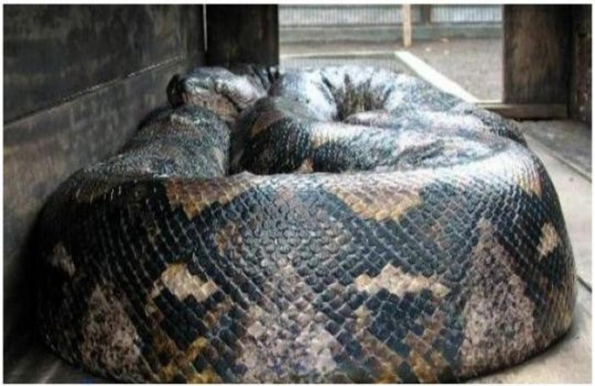 Worlds Largest Snakes Ever Caught in Indonesia , this huge Python is measured in at 48 ft (14.85 m) long and weight 985 lbs (447 kg).