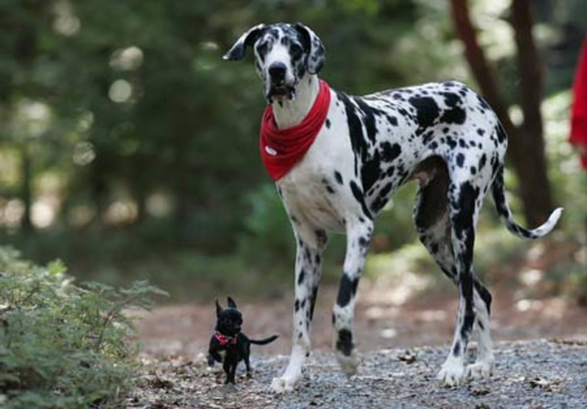 Worlds Tallest Dog Certified by the Guinness Book of World Records, Gibson is currently the worlds tallest living dog. He measures in at 180 lbs (81 kg), 3.5 ft (107 cm) tall, and is more then 7 feet (2.1 m) tall when standing up.