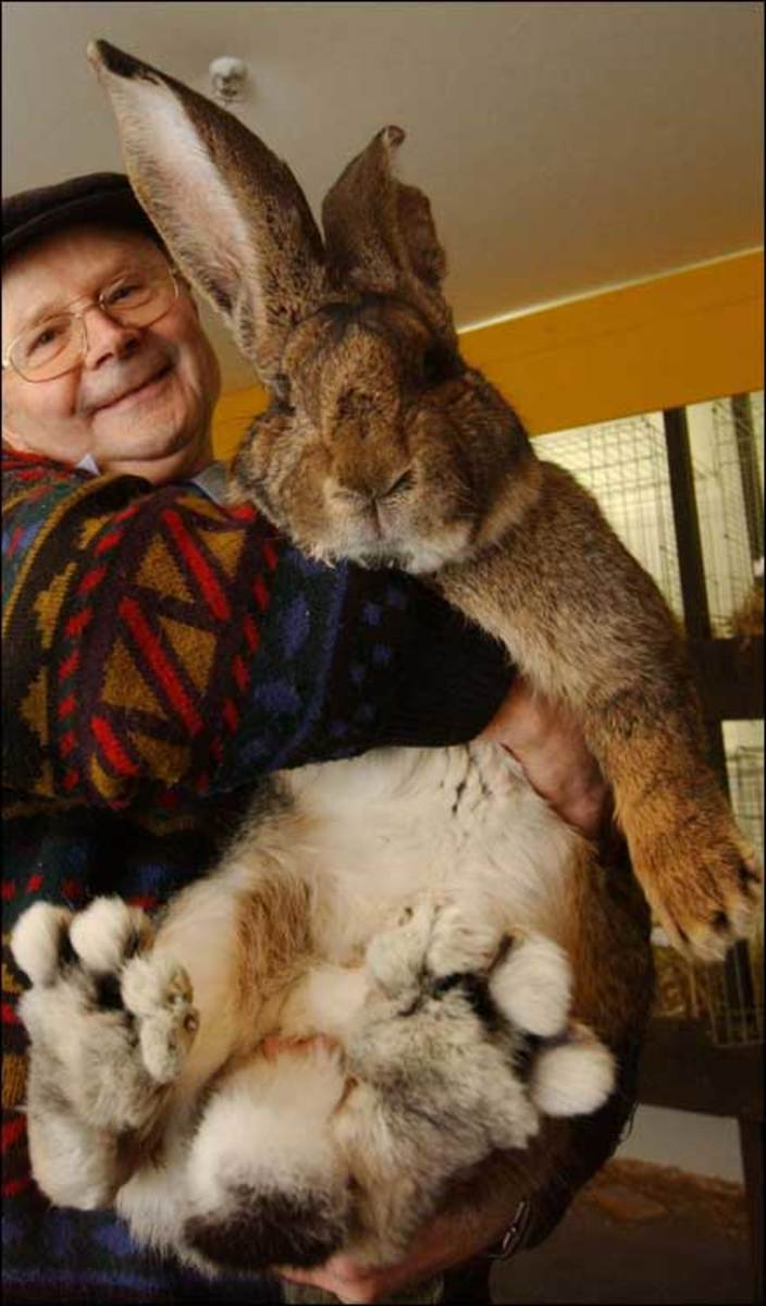 Worlds Largest Rabbit Try pulling a rabbit as large as this out of a hat. This gigantic rabbit weighs 17 lbs (7.7 kg), has ears measuring at 8.2 in (21 cm), and is almost 3.2 feet (1 m) tall. Herman could easily be the worlds biggest rabbit, but Guin