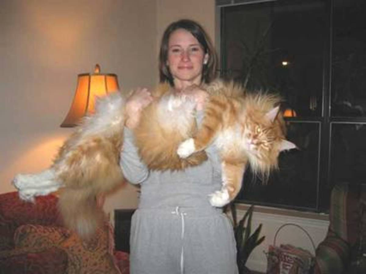 Biggest House cat in the World Believe it or not this image was not a result of Photoshopped.