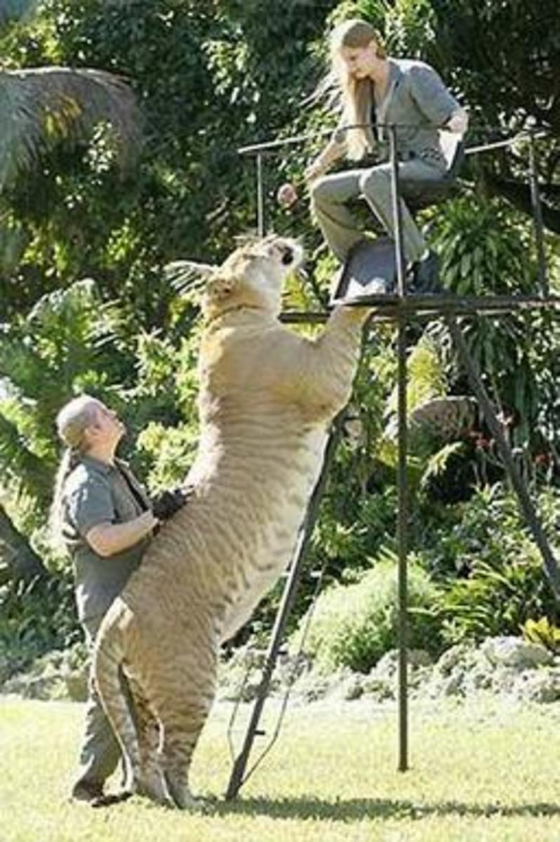 Largest Wildcat in the World The largest wild cat in the world is a liger, also known as a hybrid cross between a male lion and a female tiger. Similar to the English Mastiff, this huge liger is also named Hercules and is recognized by the Guiness Bo